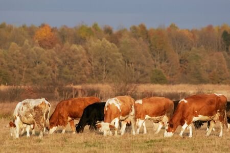 Colorful white, brown and black cows in the heard on meadow are eating grass, with forest in the background, lighted with beautiful reddish sunset light. photo