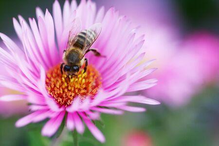 Ape su un fiore bellissimo rosa � alla ricerca di polline Archivio Fotografico