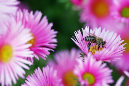 Bee in a bush of beautiful pink flowers looking for pollen