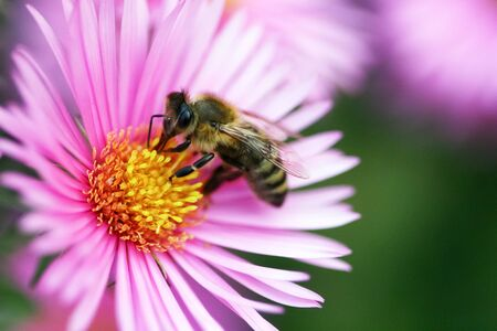 Bee on a beautiful pink flowers is looking for pollen Stock Photo