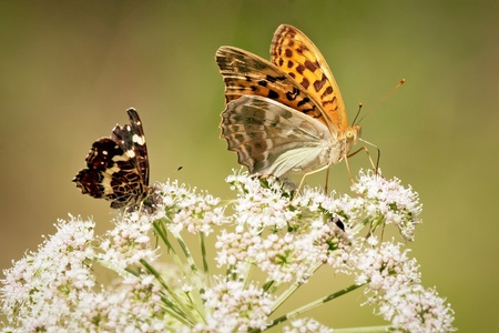 Close up of two butterflies, red smaller and bigger orange butterfly, standing on the white flower of elderberry that is growing on the meadow. photo