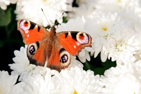 widespread:  Close up of orange, red butterfly that is standing with widespread wings on the bush of white flower of chrysanthemums.