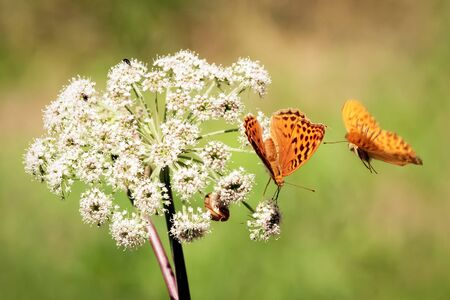 Close up of two orange butterflies. One butterfly is flying around the other one that is standing on the white flower that is growing on the meadow.