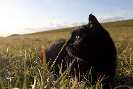 sneaking:  Black domestic cat on the meadow is sneaking to hunt for prey Stock Photo