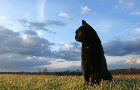 Black domestic cat is sitting down on meadow at sunset Stock Photo - 11813042