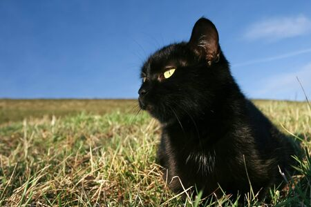 Black domestic cat on the meadow is sneaking to hunt for prey Stock Photo - 11813035