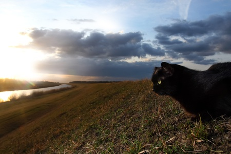 Black cat at sunset on the meadow Stock Photo - 11813038
