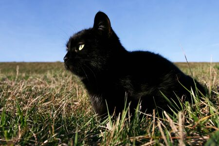 sneaking: Black domestic cat on the meadow is sneaking to hunt for prey