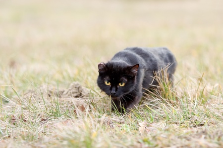 One eared black cat on the meadow is sneaking for a pray Stock Photo