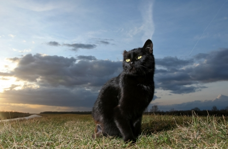 Black cat on the meadow at sunset