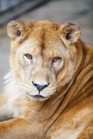 Female lion resting in the cage of the zoo photo