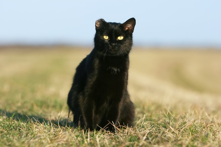 One eared black cat on the meadow. Stock Photo - 11813036
