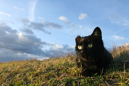 One eared black cat on the meadow is waiting for a pray Stock Photo - 11813047