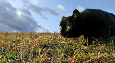 sneaking:  Black domestic cat on the meadow is sneaking to hunt for food Stock Photo