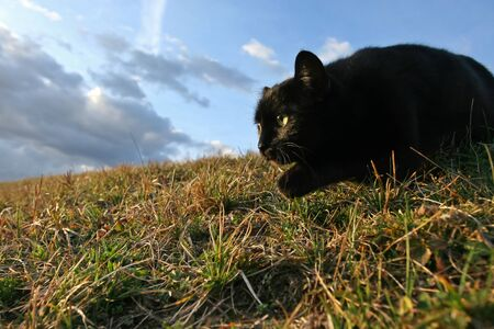 Black domestic cat on the meadow is sneaking to hunt for prey Stock Photo - 11813050