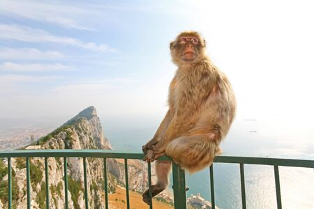 Gibraltar Monkeys or Barbary Macaques are considered by many to be the top tourist attraction in Gibraltar. Female monkey sitting on the green fence that is from the lookout of the city on top of the rock above Gibraltar. Stock Photo