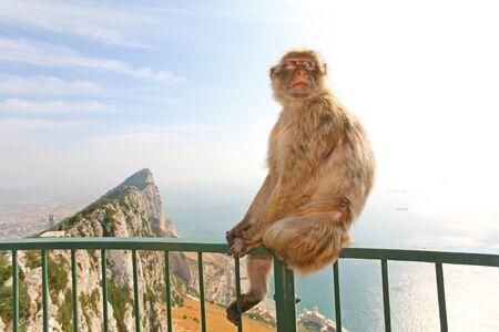 Monkeys Gibilterra o macachi di Barberia sono considerati da molti come l'attrazione turistica a Gibilterra. Scimmia femminile seduta sul recinto verde che � dal belvedere della citt� in cima alla roccia sopra Gibilterra.