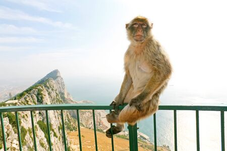 Gibraltar Monkeys or Barbary Macaques are considered by many to be the top tourist attraction in Gibraltar. Female monkey sitting on the green fence that is from the lookout of the city on top of the rocks above Gibraltar. Stock Photo - 12611137