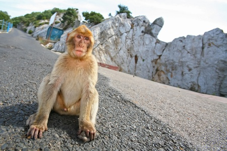 Gibraltar Monkeys or Barbary Macaques are considered by many to be the top tourist attraction in Gibraltar. The monkey is sitting on the road on the hill above the Gibraltar. Banco de Imagens