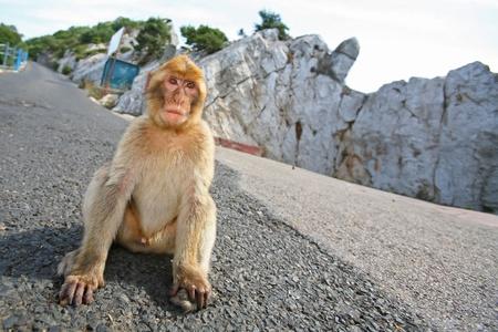 genitali: Monkeys Gibilterra o macachi di Barberia sono considerati da molti come l'attrazione turistica a Gibilterra. La scimmia è seduto sulla strada sulla collina che sovrasta la Gibilterra. Archivio Fotografico