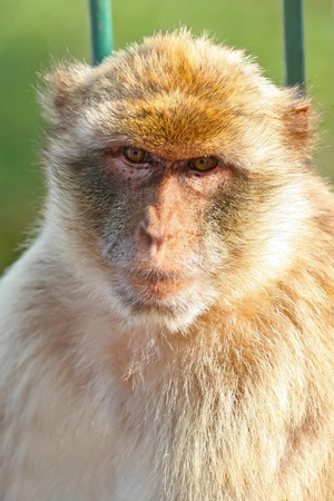 Gibraltar Monkeys or Barbary Macaques are considered by many to be the top tourist attraction in Gibraltar. Stock Photo - 12611184