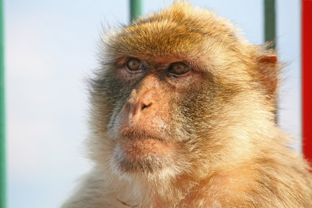 Gibraltar Monkeys or Barbary Macaques are considered by many to be the top tourist attraction in Gibraltar.