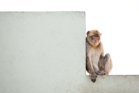 Gibraltar Monkeys or Barbary Macaques are considered by many to be the top tourist attraction in Gibraltar. The monkey is resting on the wall on the hill above the Gibraltar. Stock Photo