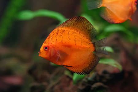 Orange discus fish swiming in aquarium Stock Photo - 12611322