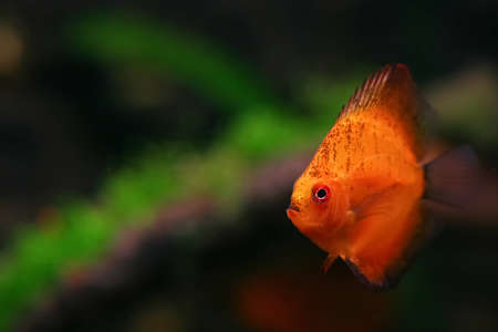 Orange discus fish swiming in aquarium Stock Photo - 12611296