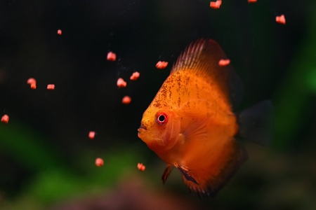 Orange discus fish swims and feeds in aquarium photo
