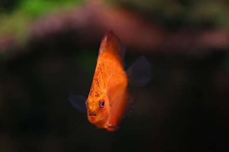 Orange discus fish swiming in aquarium Stock Photo - 12611294
