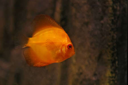Orange discus fish swiming in aquarium Stock Photo - 12611325