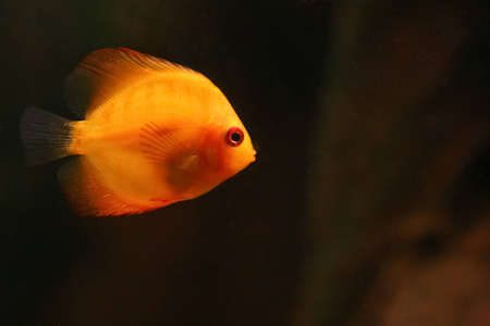 whole creature:  Orange discus fish swiming in aquarium