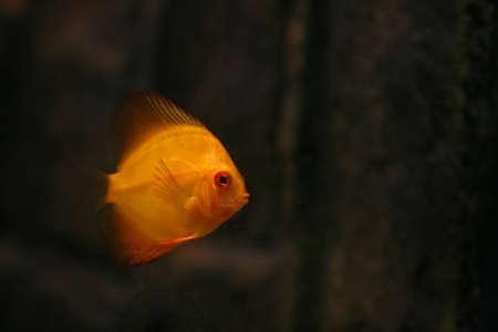 whole creature:  Orange discus fish swiming in aquarium