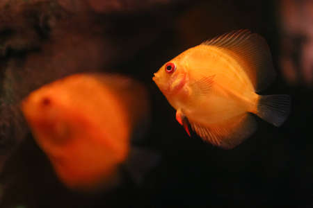 Two orange discus fish swiming in aquarium photo