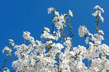 Beautiful blooming tree with clear blue sky photo