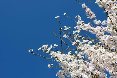 Beautiful blooming tree with clear blue sky Stock Photo