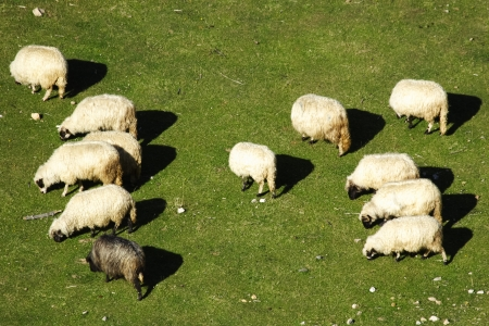 Group of white sheep grazing grass on pasture on a mountain of Vranica that is central Bosnia s highest mountain at 2112 meter  photo