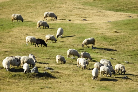 Group of sheep grazing grass on pasture on a mountain of Vranica that is central Bosnia s highest mountain at 2112 meter Stock Photo - 13837131