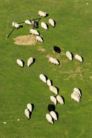 Group of white and black sheep grazing grass on the football field on a mountain of Vranica that is central Bosnia s highest mountain at 2112 meter  photo