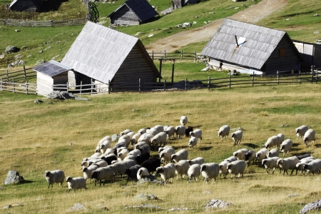 Herd of white and black sheep walking on a mountain and village of Vranica with that is central Bosnia s highest mountain at 2112 meter Stock Photo - 13838205