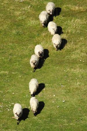 Group of white sheep grazing grass in a row on pasture on a mountain of Vranica that is central Bosnia s highest mountain at 2112 meter