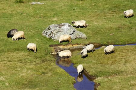 Group of sheep grazing grass on pasture by a mountain stream photo