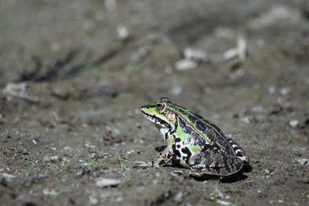 lessonae: Edible green frog  Rana esculenta , is a medium-thick-set tailless animals, up to 12 cm in length, but usually smaller  Edible green frog is actually a hybrid between a small green frog  Pelophylax lessonae  and the large green frogs  Pelophylax ridibundu