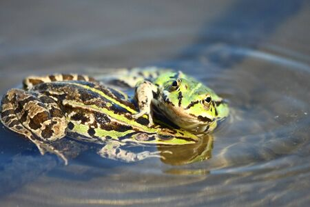 lessonae:  Edible green frog  Rana esculenta , is a medium-thick-set tailless animals, up to 12 cm in length, but usually smaller  Edible green frog is actually a hybrid between a small green frog  Pelophylax lessonae  and the large green frogs  Pelophylax ridibund Stock Photo