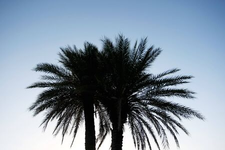 Silhouette of palm   Silhouette of two palm date trees at sunset photo
