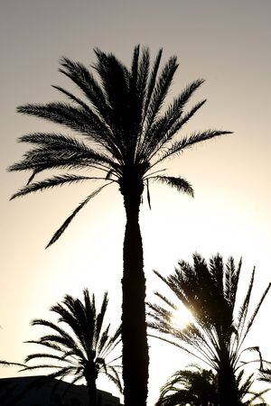 Sunset with palm tree   Silhouette of palm date trees at sunset photo