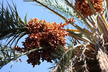 up date:  Date  Close up of date fruits on the date palms in the largest oasis of Tozeur in Tunisia Stock Photo