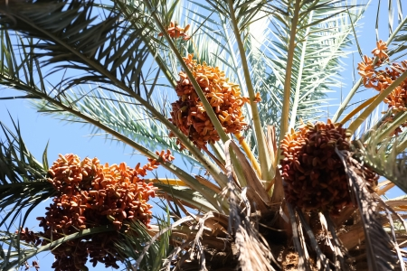 up date:  Dates fruits   Close up of date fruits on the date palms in the largest oasis of Tozeur in Tunisia Stock Photo