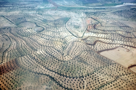 Plantation of olives  	Plantation and field of olive trees in Tunisia